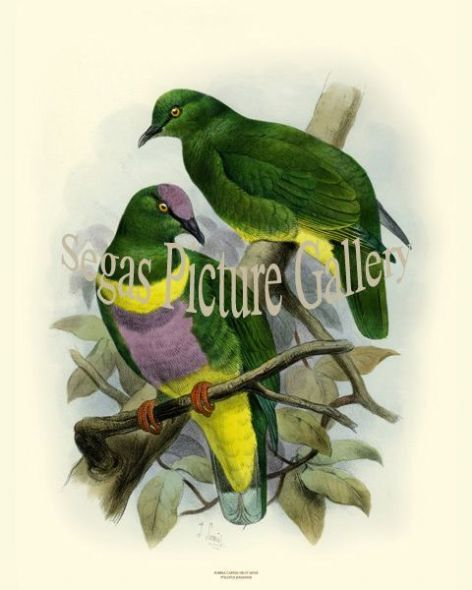 Bird Print of the Purple Capped Fruit Dove by Joseph Smit (1860)